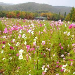 コスモス畑 札幌市 滝野自然公園