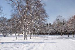 真駒内公園 白樺並木