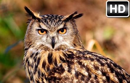 Owl Wallpaper HD New Tab Owls Themes Free Addons
