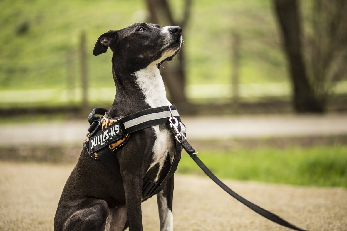 The Best Harness Type for Your Special Pal