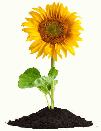 Free Sunflower Seeds to Encourage the Bees to Come Back