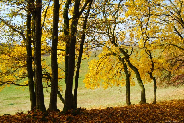 Free Fall Pictures - Yellow Trees is a printable photo