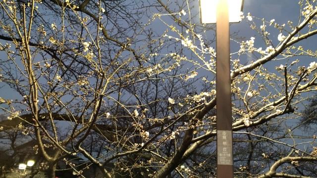 岩倉桜まつりの屋台や時間!ライトアップや山車やコスプレも地元民の私が紹介☆