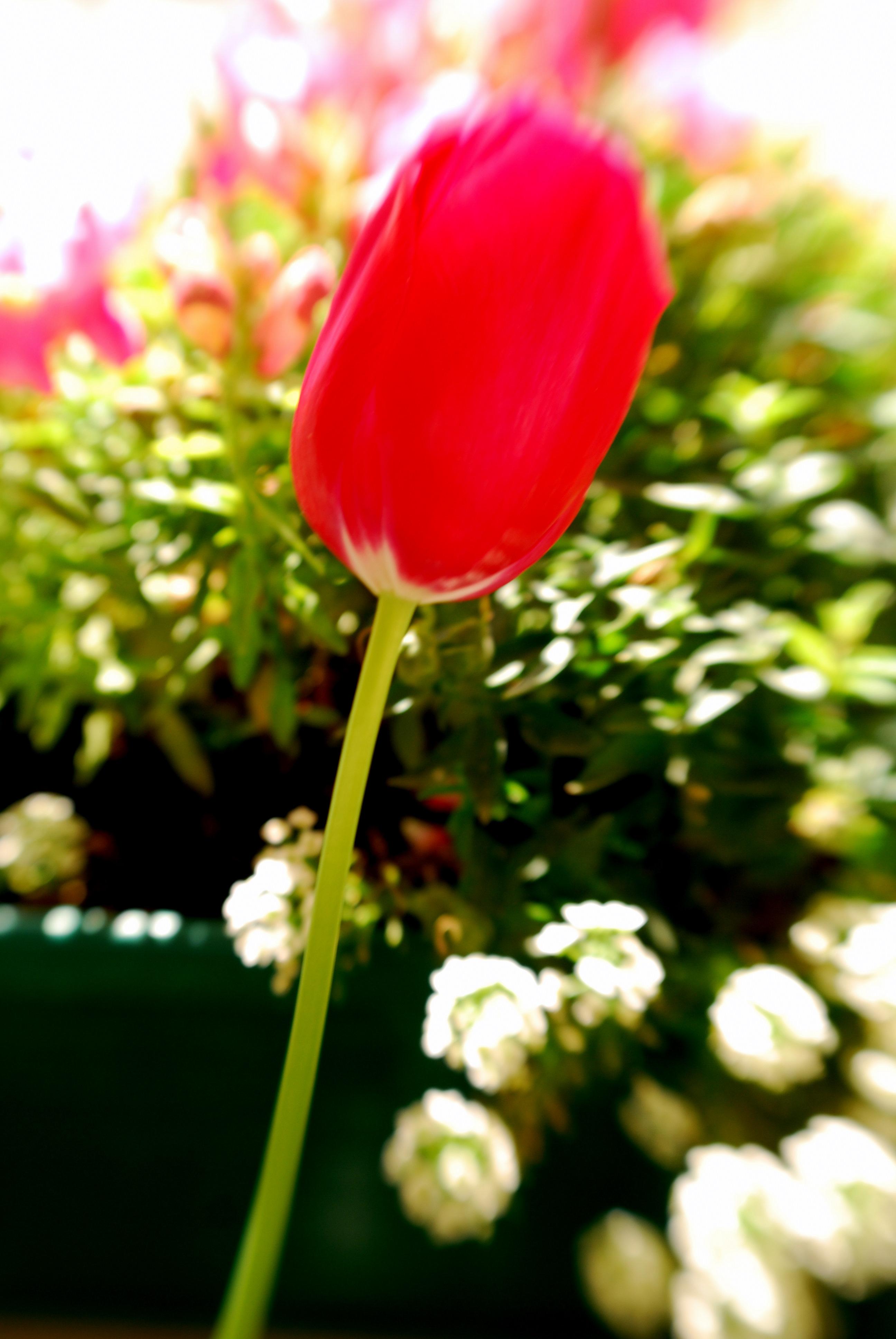 Anna's tulip