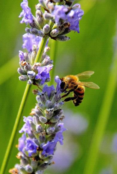 Bee - Vauxhall Park