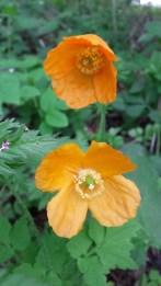Long headed poppy (Papaver dubium)