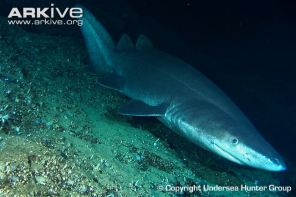prickly-shark