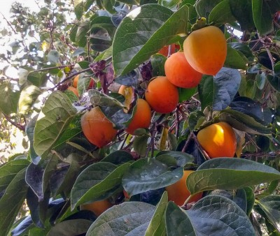 Persimmon tree at All in Common Garden