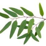 A eucalyptus leaf.