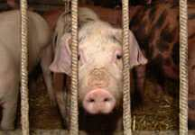 Iowa's answer to inhumane treatment of animals? Shoot the messenger.