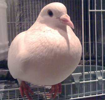 the pigeon, extensively studied and found to be the most intelligent non human animal