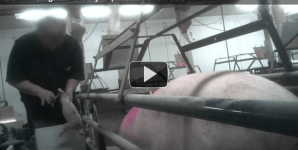 Sow and Piglet Cruelty Investigation Surfaces at a Hormel Breeding Operation