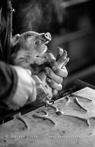 The two-day-old piglet's tail is cropped, without anaesthetic. Photo Jan van IJken