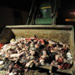All in a day's work. Piglet corpses being bulldozed away. Photo by Jo-Anne McArthur, www.weanimals.org