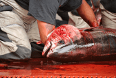 tuna slaughter investigation by animal equality