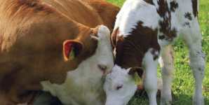 Marketing Versus Reality: The Myth of the Organic Happy Cow