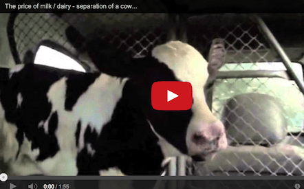 Breaking the Mother-Calf Bond: The Untold Story of Milk