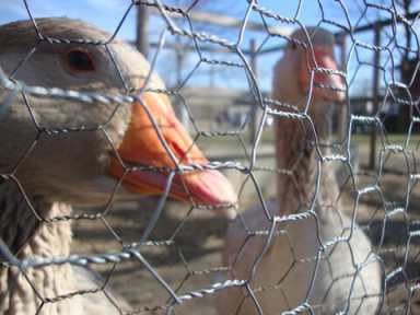Thomas and Jerald, two geese rescued from Wagner Farm by Wagner Farm Rescue Fund. Photo courtesy of Debby Rubenstein