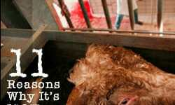 Humane Slaughter? 11 Key Reasons Why It's Not