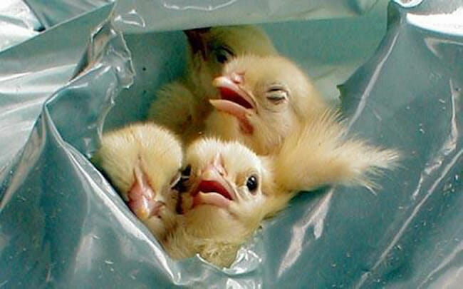 male chicks egg facts