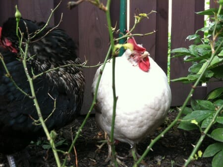sweet pea curious chicken