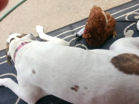 chicken and pitbull friendship