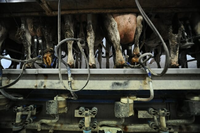 Typical milking parlor. Photo: Jo-Anne McArthur/We Animals