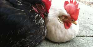 Overcoming Our 'Egg-Industry' View of Chickens