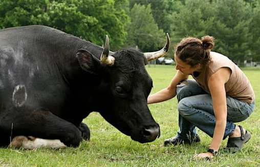 Jenny Brown and Dylan the steer at Woodstock Farm Animal Sanctuary