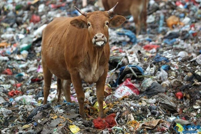 "Photo taken on November 6, 2011 at Mi Feng solid waste disposal station in China where cattle were found literally ""grazing"" on human garbage. It has been reported that the owners bring cows here to fatten them up. Once they reach a desired weight, they are then taken to slaughterhouses. Photo source: http://forum.china.com.cn/photoview.php?mod=view&fid=147&tid=1276218&onid=1"