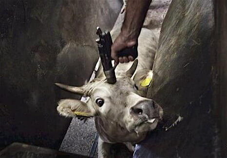 humane cow slaughter