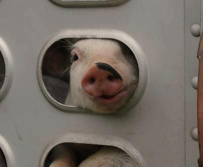 pig in transport to slaughter