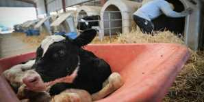 What Is the Value Of A Life? A Dairy Calf Story
