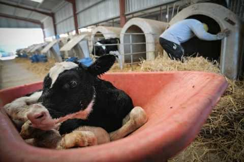 dairy calves are taken away from their mothers at birth