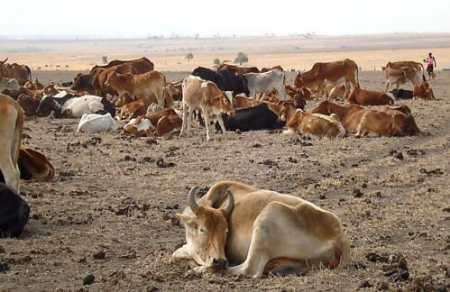 Cattle in the great Kenya drought of 2009 (photo credit: ILRI/Dorine Adhoch).