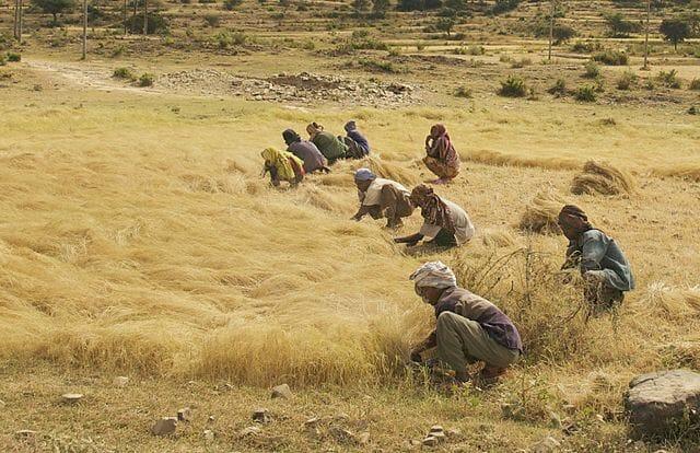 teff harvesting ethiopia