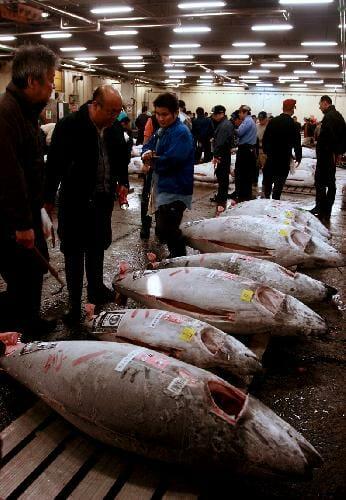 dead tuna fish bodies