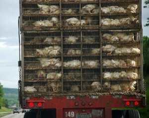 chicken transport truck, animal foods