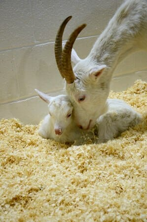 dairy goats rescued
