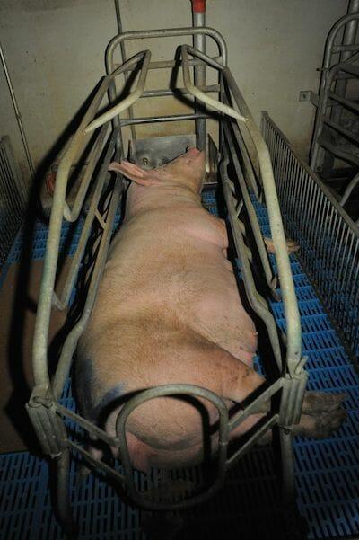 gestation crate joanne mcarthur