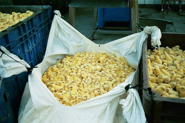 many male chicks in garbage bag