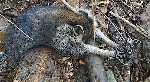 raccoon bodygrip trap copy