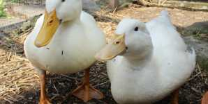 Duckling Couple Rescued and Provided a Forever Home!