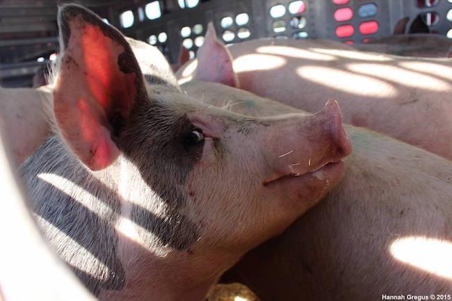 Hannahs-pigs-2