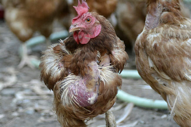 rescue exposes free range organic hens worse off than caged
