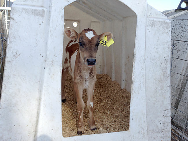This calf licked my hand and wanted to suckle. They should be as playful as puppies, but instead their spirits are already broken and there is a look of hopelessness in their eyes. (Photo: Robert Grillo)