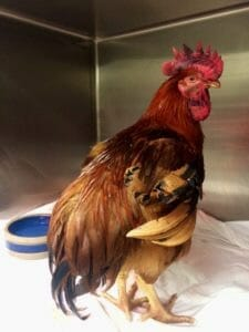 Rescued rooster Bodhi at Niles Animal Hospital