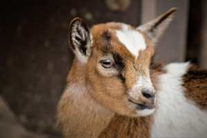 baby goat used for meat