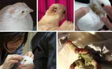 11 Abandoned King Pigeons (Squab) Rescued!