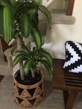 corn plant in living room